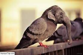 éléphant pigeon