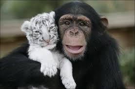 chimpanzé et lion