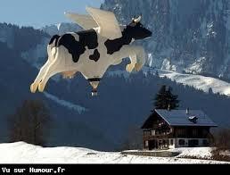 vache drole