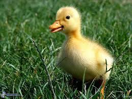 petit-canard